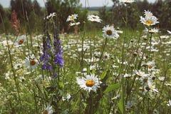 Kamomillen blommar på en äng i sommarslut upp Arkivbilder