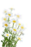 Kamomillen blommar på en vit Arkivfoton