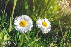Kamomillen blommar på solsken Fotografering för Bildbyråer