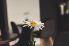 Kamomillen i en vas är på tabellen Royaltyfri Fotografi