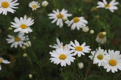 Kamomillfält av blommor arkivbilder