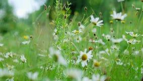 Kamomillfält, gräsmatta i skogen med blomningtusenskönor, sommar lager videofilmer