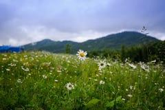 Kamomillfält i bergen arkivfoto