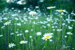 Kamomillfält i sommar, fält med blommor arkivfoto