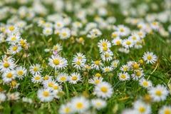 Kamomillfältet blommar under sommar arkivfoton
