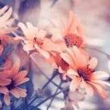 Kamomillromantikerbakgrund Arkivbild