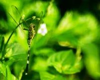 Kamouflage av en grön slända arkivbild
