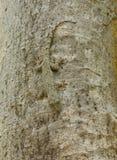 Kamouflage av en trädgecko Arkivbilder