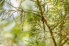 Kamouflage: En Fawn Darner Dragonfly Royaltyfri Fotografi