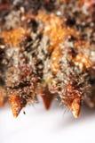 Kamouflage revefterföljd, härmande, rygg, rostal som är orange, cora Royaltyfria Bilder