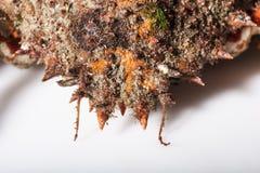 Kamouflage revefterföljd, härmande, skal, rygg, antenn, oran Royaltyfri Bild