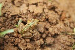 Kamouflagegroda med jordningen Fotografering för Bildbyråer