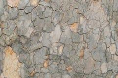 Kamouflagemodell som skäll för sykomorPlatunus träd Royaltyfria Bilder
