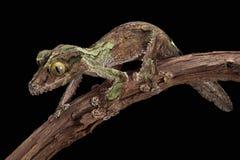 kamouflerad gecko Royaltyfria Foton