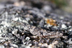 kamouflerad gräshoppa Royaltyfria Bilder