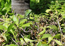 Kamouflerad leguan - Aruba Royaltyfri Fotografi