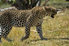 Kamouflerad stor katt Royaltyfri Foto