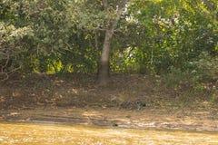 Kamouflerade Jaguar som promenerar skuggad flodstrand Royaltyfria Foton