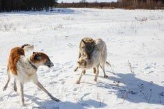 Kamp av två jakthundkapplöpning av en hund och en grå varg i ett snöig fält royaltyfri foto