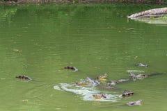 Kamp för mat-krokodil-Crocodylus siamensis Royaltyfri Foto