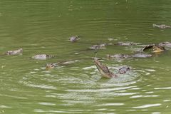 Kamp för mat-krokodil-Crocodylus siamensis Arkivfoton
