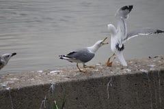 kamp mellan fiskmåsar Fotografering för Bildbyråer