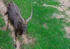 Kampala mannetje in open dierentuin Stock Fotografie