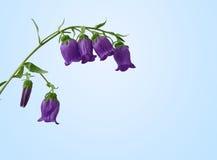 Kampanula, bellflower kwiatu zbliżenie zdjęcie stock