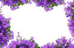 Kampanula, bellflower tło Zdjęcie Stock