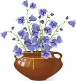 Kampanula dzwonkowi kwiaty w garnku Zdjęcia Royalty Free
