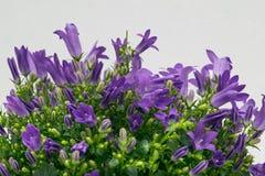 Kampanula kwiaty Fotografia Stock