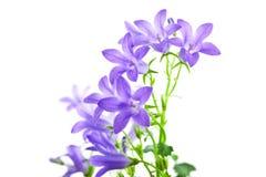 kampanula kwiaty odizolowywali Zdjęcie Stock