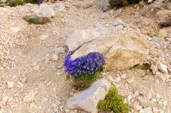 Kampanuli alpina, Abruzzo, Włochy Fotografia Royalty Free
