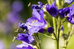 Kampanuli alpina kwiaty Bellflowers w pogodnym letnim dniu Wildflowers na zielonym naturalnym tle zdjęcia stock