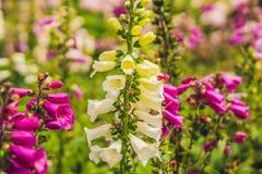 Kampanuli glomerata, znać pospolitymi imionami gromadził się bellflower lub duńczyk krwi Obrazy Royalty Free