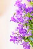 Kampanuli wiosny kwiaty Fotografia Stock