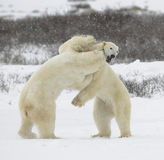 Kampf der Eisbären. 1 Stockfotografie