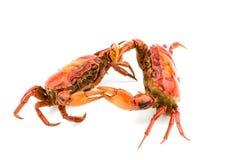 Kampf der Krabbe Stockfoto