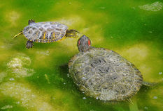 Kampf der Wasserschildkröten Stockfotografie