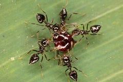 Kampf des Käfers und der Ameisen auf einem Blatt des Rasengrases Lizenzfreies Stockfoto