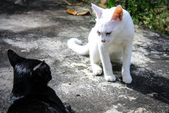 Kampf mit zwei Katzen Stockbilder