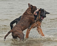 Kampf mit zwei Welpen auf Strand Stockfotos