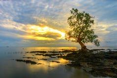 Kampf von Baumsonnenaufgang riau Indonesien Lizenzfreies Stockbild