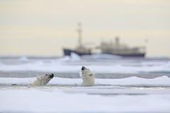 Kampf von Eisbären im Wasser zwischen Treibeise mit Schnee, unscharfer Kreuzfahrtchip im Hintergrund, Svalbard, Norwegen stockfotos