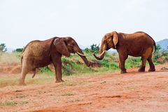 Kampf von Elefanten Stockfotografie