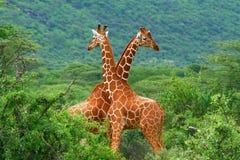 Kampf von zwei Giraffen stockfotografie