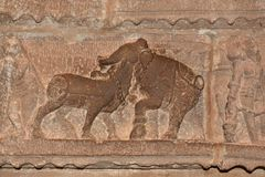 Kampf zwischen Elefanten und Ochsen lizenzfreie stockfotos
