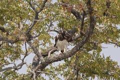 Kampfadler, der auf dem Baum hockt Lizenzfreie Stockbilder