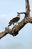 Kampfadler mit Hasen in Nationalpark Kruger, Südafrika Stockbild
