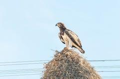 Kampfadler mit Opfer auf Kommunalvogelnest Lizenzfreies Stockbild